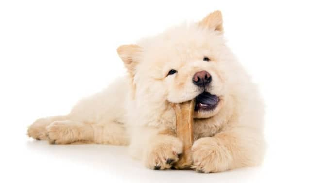 Mums. I modern svensk köttproduktion är det sällsynt att äldre djur slaktas. Därför kan man med gott samvete ge sin hund ett köttben från gris. Foto: Colourbox