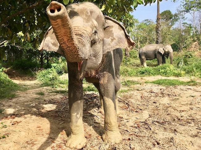 Phuket Elephant Sanctuary i Thailand lockar djurvänner och kändisar världen över.