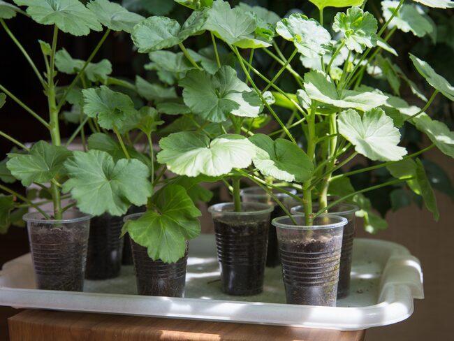 När du på våren ska plantera om och beskära dina krukväxterna kan du passa på att ta sticklingar.