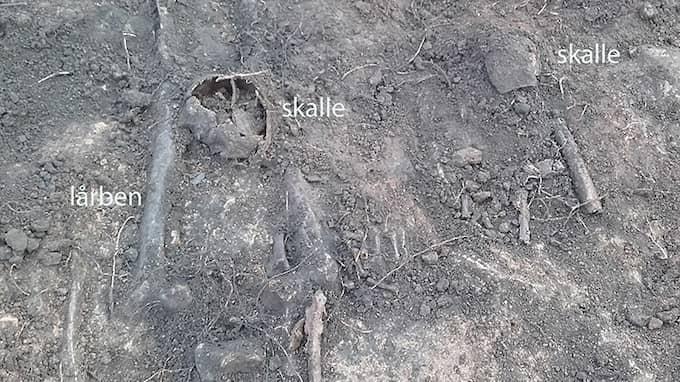 Två halshuggna män från vikingatiden hittades på Köttorget i Falköping. Foto: Anders Berglund, Västergötlands museum