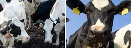 Om 200 år kan kor vara de största landlevande djuren