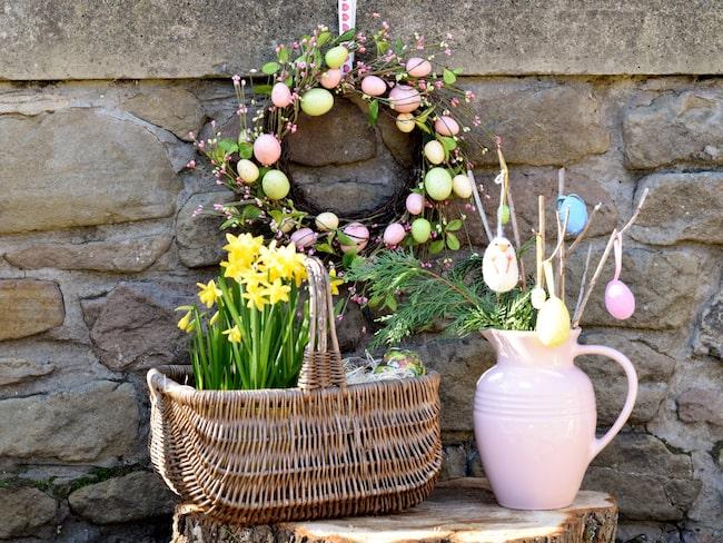 Om du sköter påskliljorna rätt kan du få dem att blomma även nästa år.