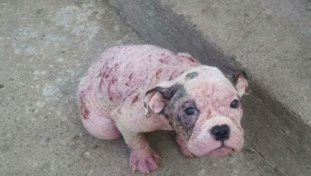 Bulldogvalpen Sheba lämnades att dö på gatan