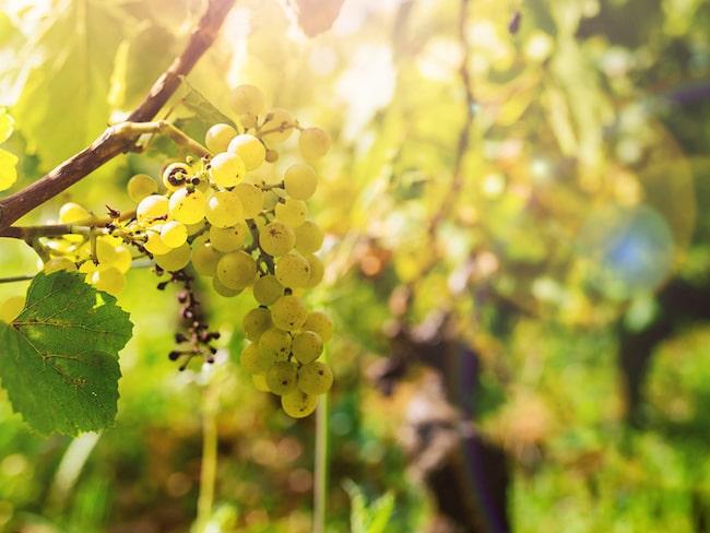 Chardonnay är en av druvorna som används när man gör champagne.