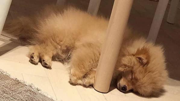 Dvärgspetsen Bamse är det senaste tillskottet i Darins liv. Foto: Instagram: darinofficial